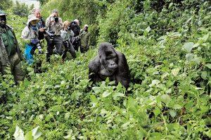 An Menschen gewöhnte Gorillas dürfen von einer bis zu achtköpfigen Touristengruppe maximal eine Stunde pro Tag besucht werden, Foto: Agape Travels