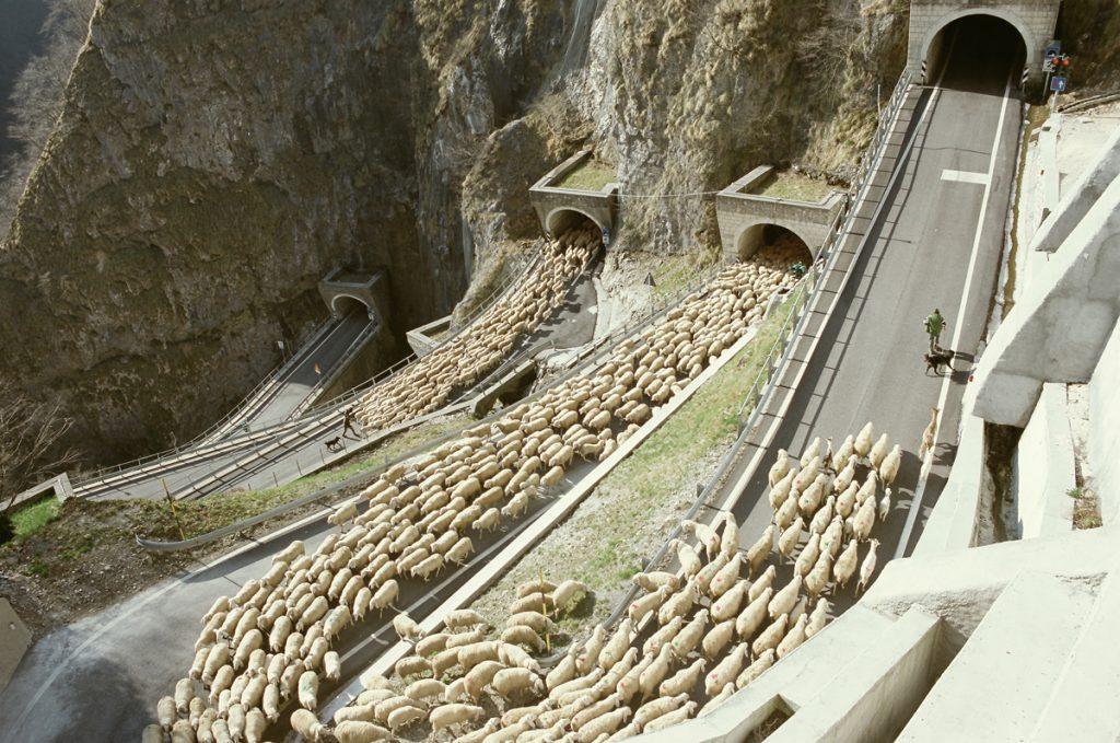 Schafherde am Passo Brocon, Italien 2008, Foto: Giancarlo Rado